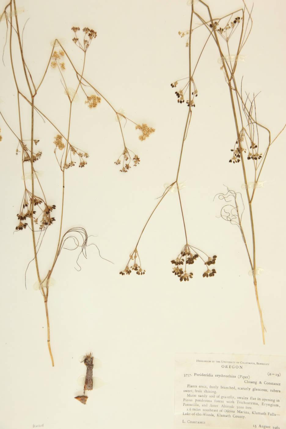 Image of Perideridia erythrorhiza