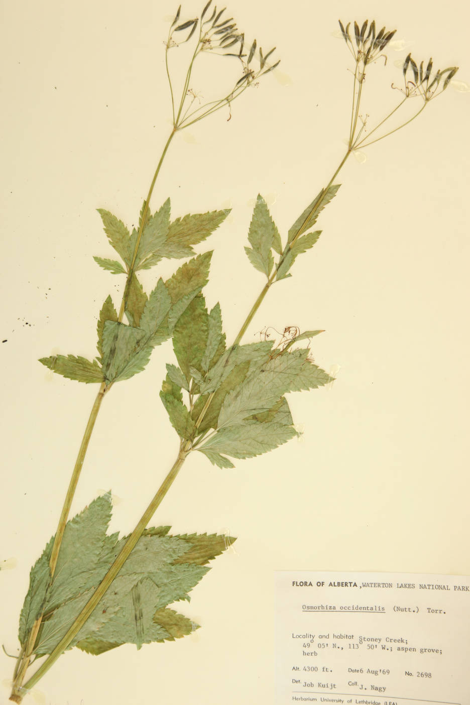 Osmorhiza occidentalis image
