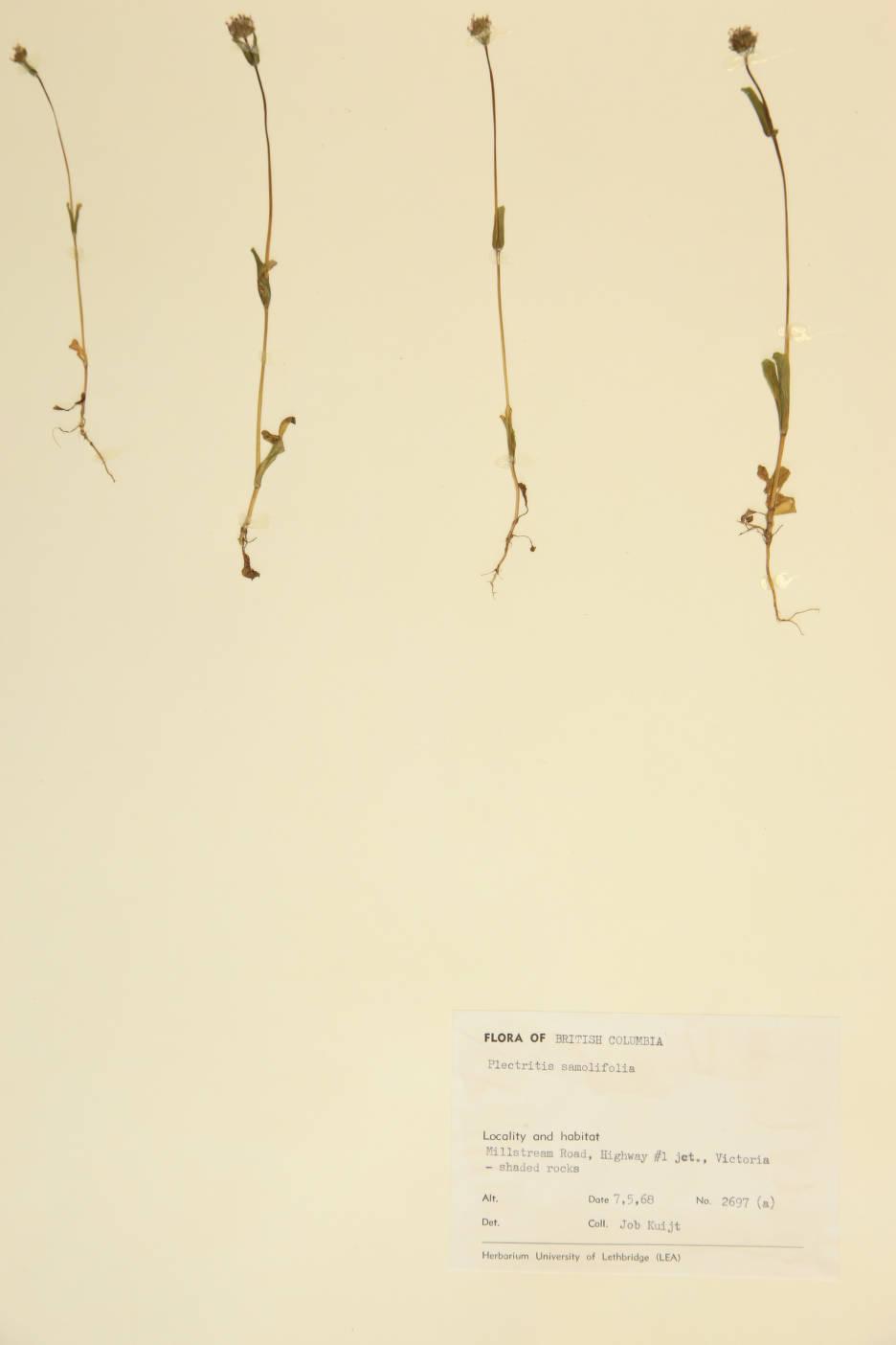 Image of Plectritis samolifolia