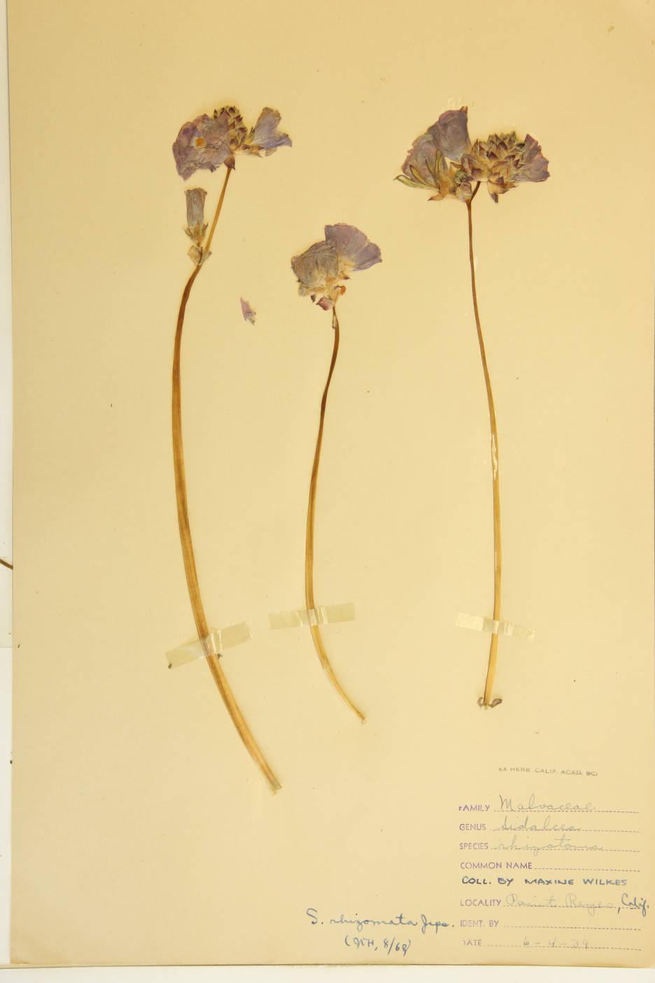 Image of Sidalcea rhizomata