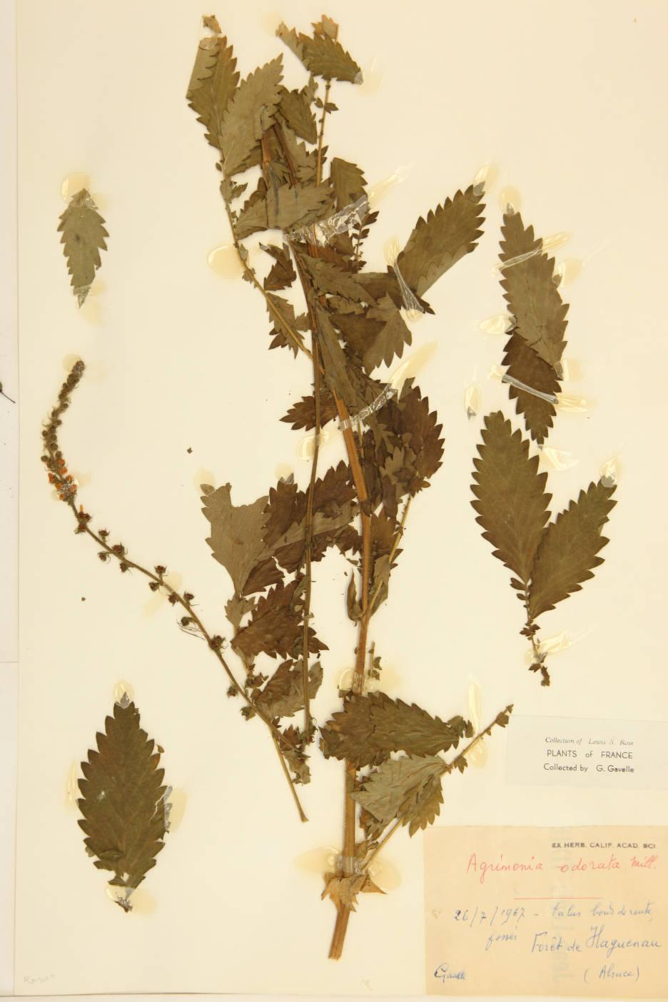 Agrimonia odorata image