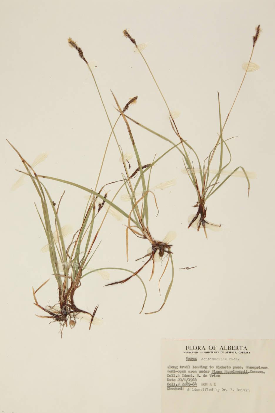 Carex concinnoides image
