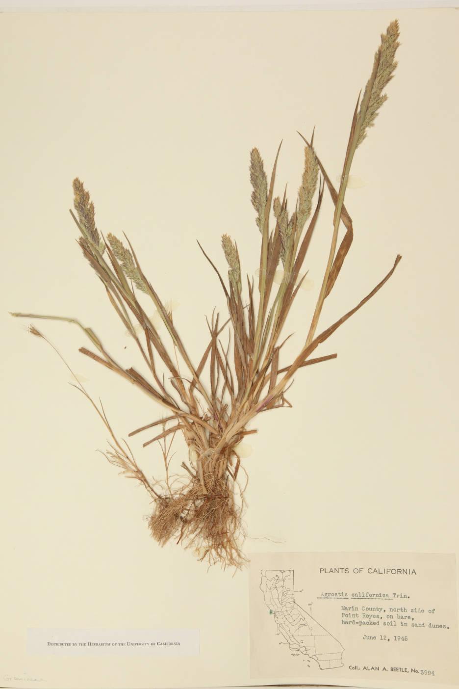 Agrostis californica image
