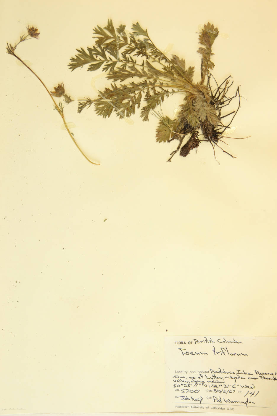 Geum triflorum image