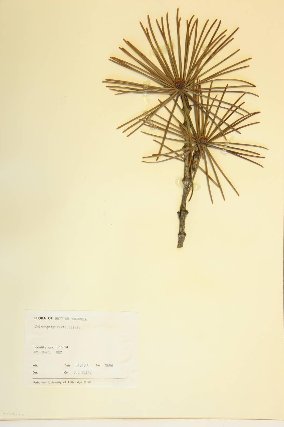 Sciadopitys verticillata image