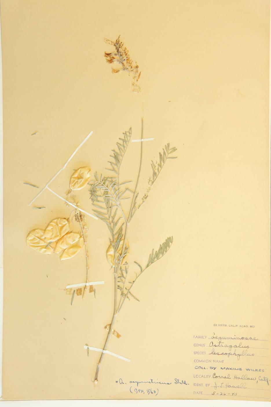 Image of Astragalus leucophyllus