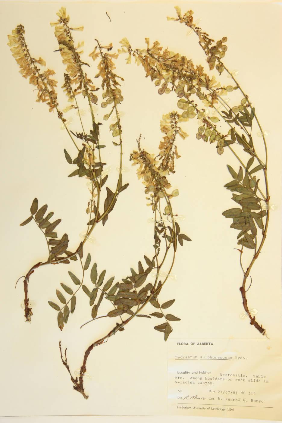 Hedysarum sulphurescens image