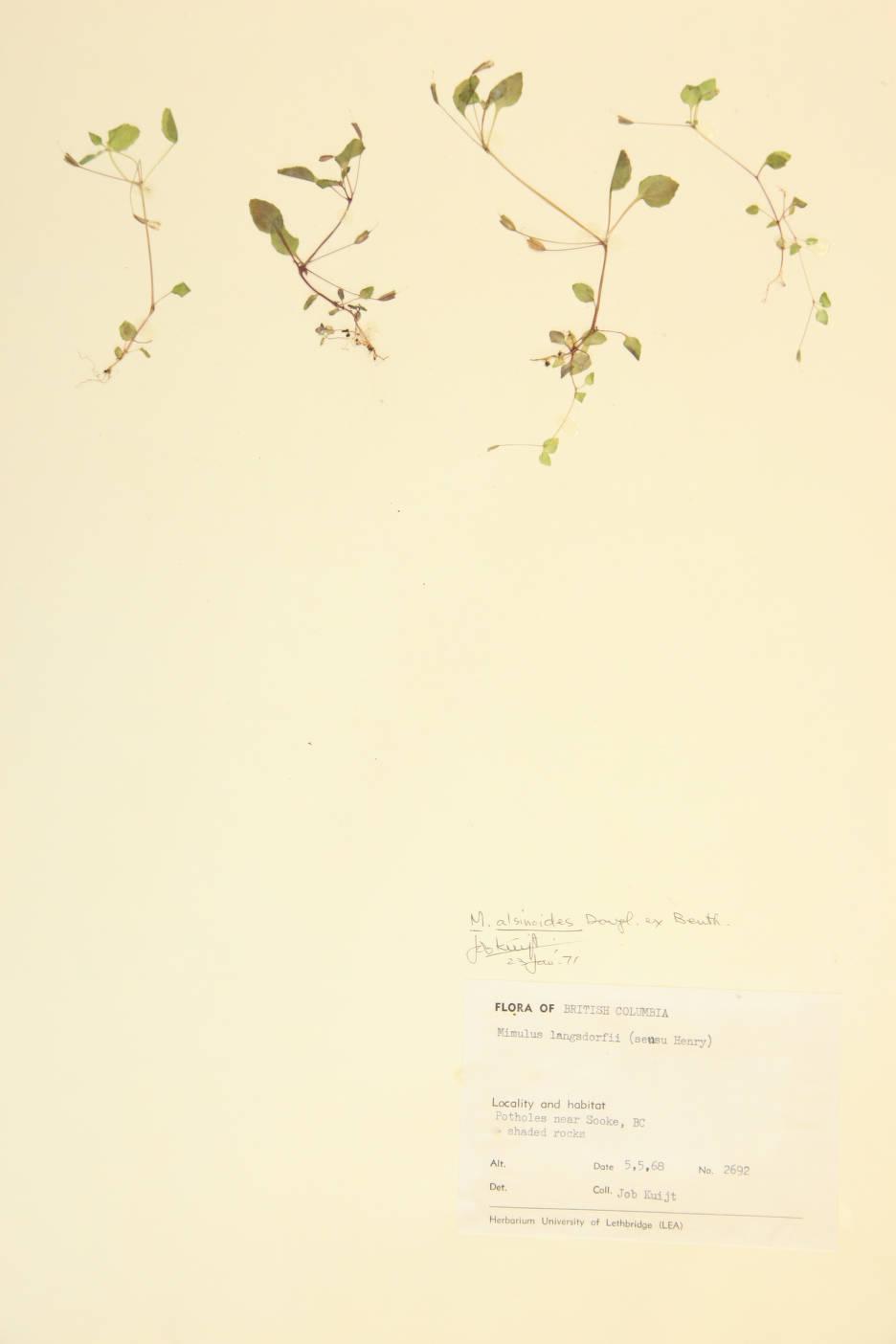Erythranthe alsinoides image