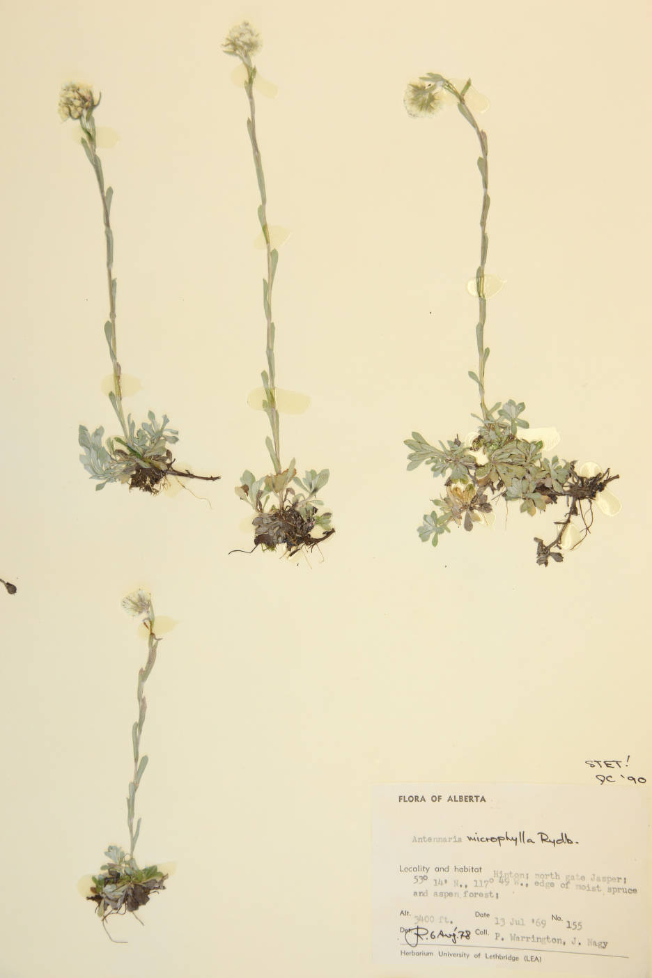 Antennaria microphylla image