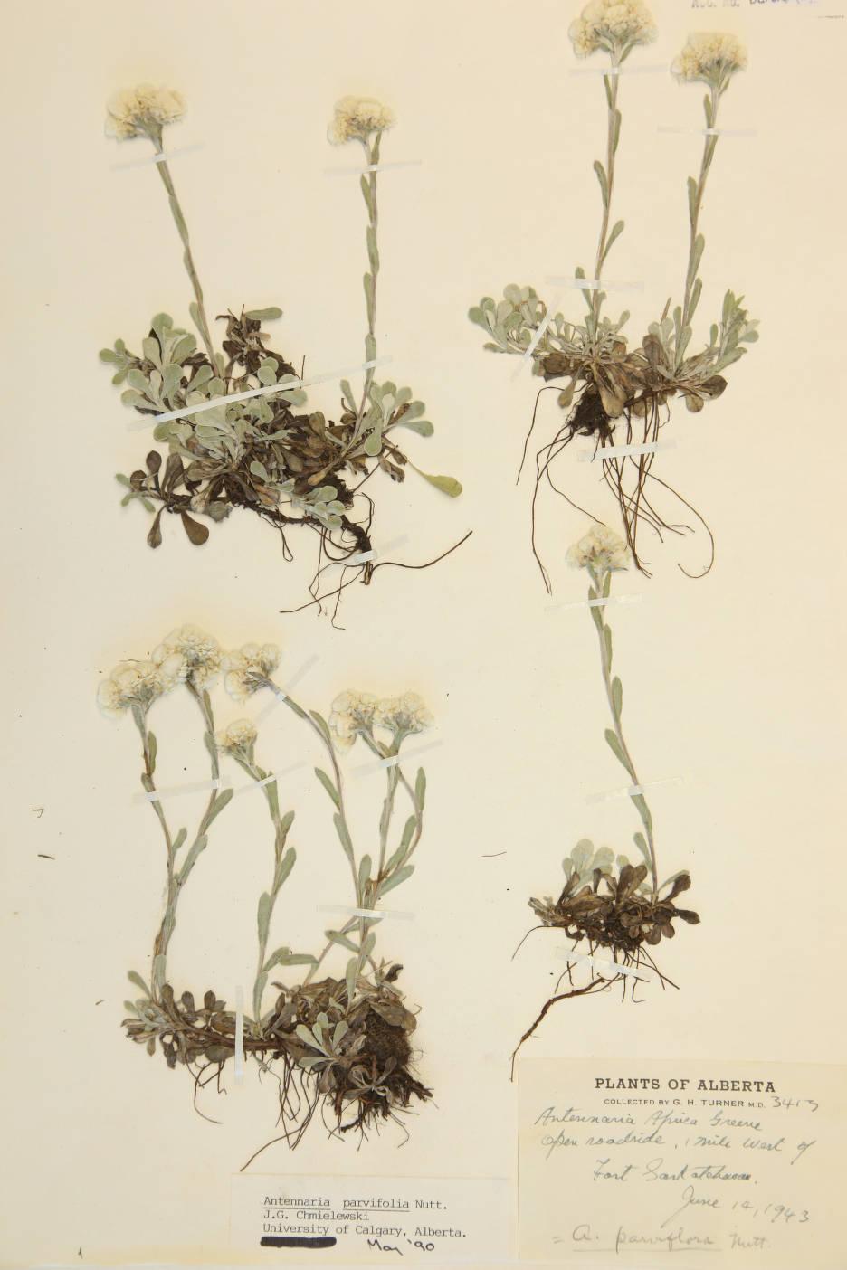 Antennaria parviflora image