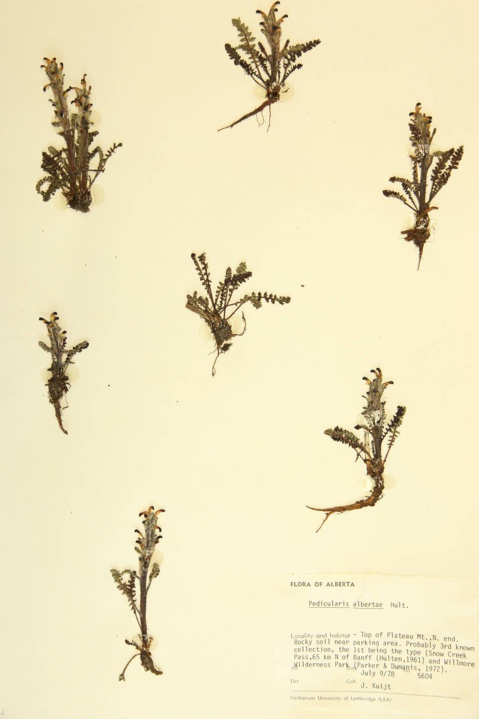 Image of Pedicularis albertae